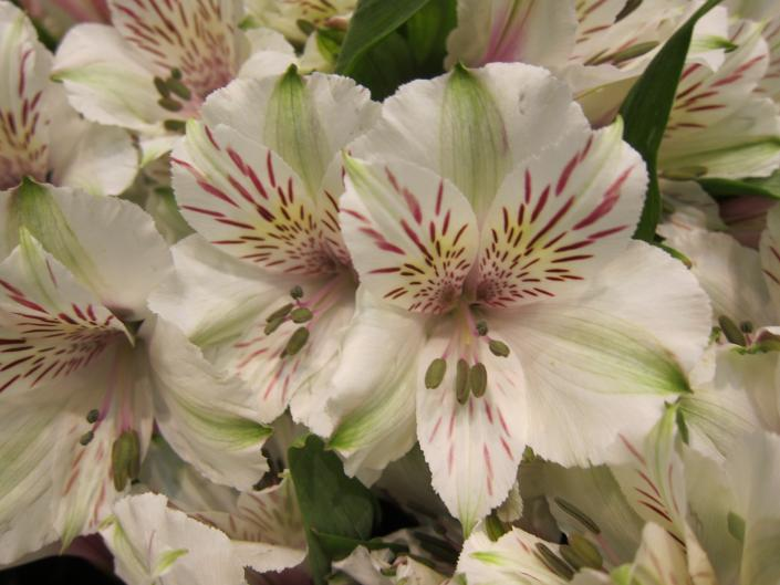Alstroemeria is just one of the many beautiful choices of flowers available to create the perfect bouquet for you!